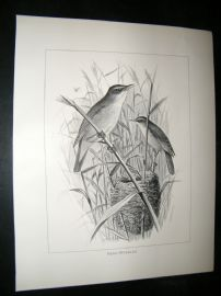 Frohawk 1898 Antique Bird Print. Red-Warbler & Nest